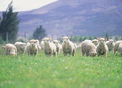 羊革について